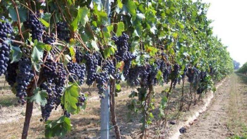 Sbloccati finanziamenti per oltre un milione in favore dei vitivinicoltori