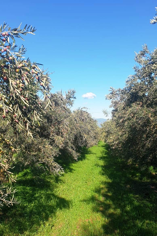 Coldiretti, è la giornata ulivi. In Calabria 25milioni di piante: un tesoro di biodiversità