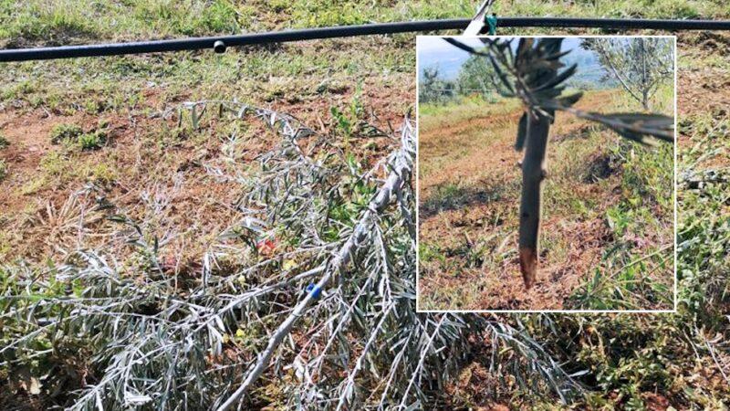 Coldiretti Calabria insieme all'Azienda Marchesi Gallo di Castrovillari per ripiantare 200 piante di ulivo distrutte