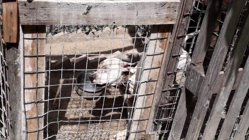Mendicino, sequestrati 7 cani pitbull da combattimento. Denunciato 42enne